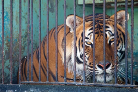 tiger in a cage in the menagerie